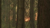 сосна : Forest in fire, burning trees, bushs, burning dry grass in the peatbog.