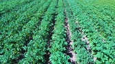 Potato Field Aerial View. Rows of Potatoes in a Field Aerial Dron Shoot. Rows of Green and Organic Potatoes Growing on a Farm on Sunny Summer Day. Green Field of Flowering Potatoes. Wideo