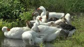 nibbling : Geese on the River Stock Footage