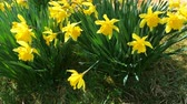 explodindo : Bunch of yellow daffodil flowers or narcissus, in green grass during spring. Blowing in the wind.