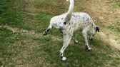 peeing : Young dalmatian dog marking territory and peeing on a grass. Urination in real time.