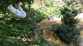 sedět : Swan builds a nest from straw, on the shore of the lake in the spring.