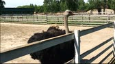 struś : Domesticated wild african ostrich (struthio camelus) is walking in an aviary on a ostrich farm. Wild ostriches on a bird farm.