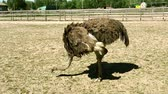 struś : Domesticated wild african ostrich (struthio camelus) pecks food in an aviary on a ostrich farm. Wild ostriches on a bird farm.