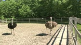 strucc : Domesticated wild african ostrich (struthio camelus) is walking in an aviary on a ostrich farm. Wild ostriches on a bird farm.