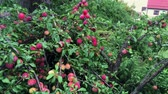szilva : Organic plum tree with a lot of ripe fruits of red color. Agricultures harvest. Stock mozgókép