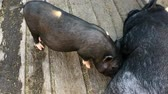 sows : Small and large pigs in a stable with a wooden floor. Stock Footage
