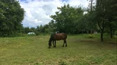 грива : Domestic stallion grazes on a green meadow. Rural scene.