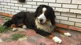 овчарка : Shaggy Bernese Mountain Dog lies in the backyard and twists his head. Стоковые видеозаписи