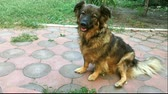 овчарка : Shaggy amusing dog-mongrel sits in the backyard, twists his head and waves his tail.