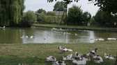 кряква : Ducks swim in the pond and are on the shore on a farm or in the countryside. Outdoors.