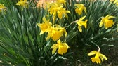Клумба : Yellow blooming daffodil (Narc?ssus pseudonarc?ssus). Many first spring flowers. Is grow in a flower bed. Narcissus swinging in the wind.
