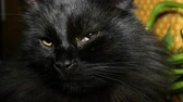 국내의 : Shaggy home black cat. Close-up. Looks around blinks eyes and turns his head.