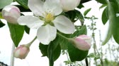 lengő : Flower of pink color of an apple tree, on a branch. Swinging in the wind. Close-up.