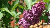 syringa : Lovely lilac. Branch of purple lilac (Syringa vulgaris), near the brick wall, is swinging in the wind. Close-up.