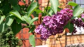 leylak : Lovely lilac. Branch of purple lilac (Syringa vulgaris), near the brick wall, is swinging in the wind. Close-up.