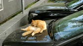 nieuwsgierig : The red cat lies in the car and licks itself in different places.