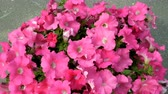 Клумба : Outdoors flower pot with pink petunia flowers. Petals tremble in the wind. Beautiful floral static background.