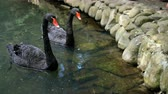 Two beautiful black swans swim in a calm decorative pond together. Outdoors Stockvideo
