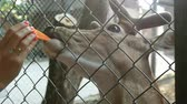 Human hands feeds horned deer with a carrot through a cage in park. Close-up. Stockvideo