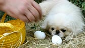 galinha : Collared eggs on white background. Small, playful white Pekingese dog plays eggs and helps to human.