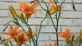 fundo colorido : Bright orange lilies Close-up. Outdoors