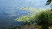 reservoir : Tranquil scene on the river or lake. The shore, overgrown with reeds and lilies, a small wave and a light breeze.