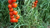 роса : Ripe red tomatoes hanging on a green background Outdoors Стоковые видеозаписи