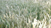 spikelet : Wheat field. Ears of ripening wheat, rye or other cereal plant, swinging in the wind on the field. Concept of Rich harvest or agricultural production. Selective focus. Overall plan.