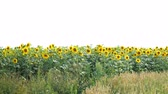 pólen : Blooming sunflowers field at bright sunny summer day with the sun bright backlight. Agricultural flower background. Overall plan.