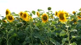 pólen : Blooming sunflowers field at bright sunny summer day with the sun bright backlight. Agricultural flower background. Average plan.