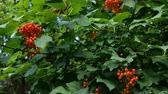 bylinný : Branch with clusters of viburnum berries or Viburnum opulus. Juicy red berries and green leaves hang on the branches of a tree.