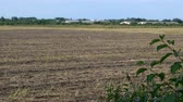 cigogne : Big group storks or Ciconia ciconia walking on farm field looking and searching food in natural habitat. Storks walk through a plowed field. Vidéos Libres De Droits