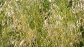 wiggle : Green wild grass in the field or meadow swing on light wind. Nature background, selective focus. Stock Footage
