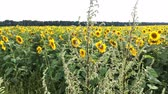globale : Blooming sunflowers field at bright sunny summer day with the sun bright backlight. Agricultural flower background. Overall plan.