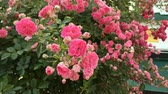 perto : Bush of beautiful pink roses sways in the wind in yard on flower bed. Close-up.