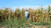 peeing : Senior man in casual clothes urinates, standing rear near field of ripened corn. Then he turns, fastens his fly and leaves. Overall plan. Outdoors.