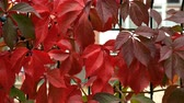novembro : Background red and green autumn leaves. Upwards. Close-up. Vídeos