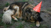 лохматый : Mongrel shaggy dog in birthday cap lies on grass in backyard. Close-up.