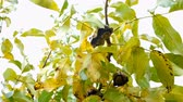 ripened : Harvest time. Yellow leaves and ripened walnut fruits hang on branches of tree and swing in wind. Autumn background. Close-up. Stock Footage