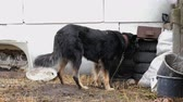 quintal : Sad mongrel, eating its feed, is tied on short leash near her dog house in backyard. Animal abuse concept. Medium plan.