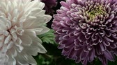 krizantem : Autumn flowers. Beautiful bouquet of large pink and white chrysanthemum flowers. Used as floral background. Stok Video