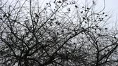 Many sparrow birds sit and fly on a tree in a park or countryside. Silhouette. Medium plan. 動画素材