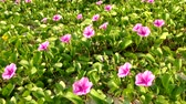 ипомеи : Ipomoea pes-caprae, known as bayhops, beach morning glory or goats foot, is a  pantropical creeping vine in family of Convolvulaceae. It grows on the upper parts of beaches and endures salted air