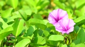 ipomoea : Ipomoea pes-caprae, known as bayhops, beach morning glory or goats foot, is a  pantropical creeping vine in family of Convolvulaceae. It grows on the upper parts of beaches and endures salted air