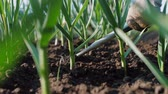 horticultura : Farmer hoeing soil on garden bed of green onions and garlic. Manually ploughing of plantation of soil. Organic farm, agriculture sector, close up, slow motion