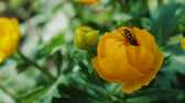 нектар : Bee pollinates a yellow flower in garden. Small bee collect flower dust. Slow motion.