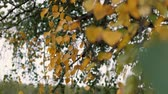 chovendo : Birch branch with yellow leaves swaying in the wind cloudy autumn day. Autumn forest.