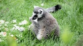 catta : Lemur catta eating on green grass