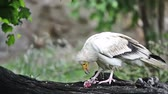 гриф : Egyptian vulture or white scavenger vulture (Neophron percnopterus)